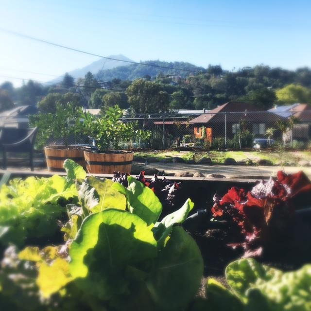 Lettuces and Mt. Tamalpais